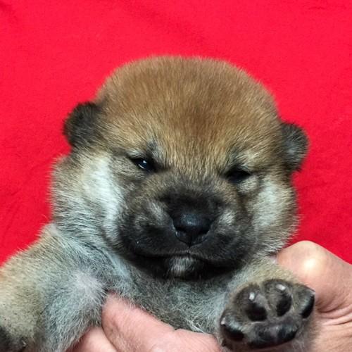 柴犬の子犬(ID:1262511607)の1枚目の写真/更新日:2018-11-02