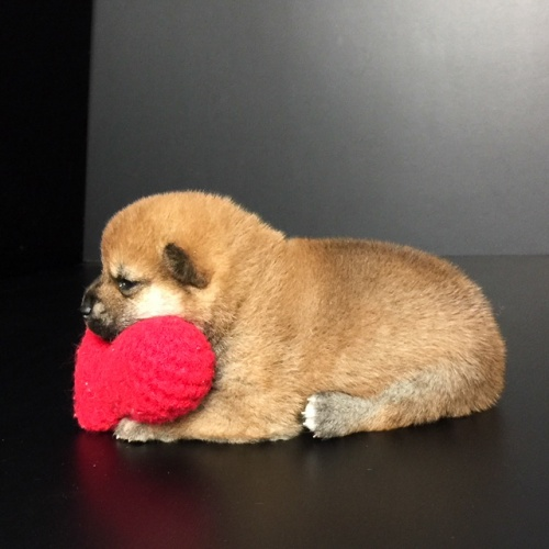 柴犬の子犬(ID:1262511607)の2枚目の写真/更新日:2018-11-02