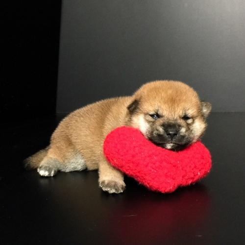 柴犬の子犬(ID:1262511607)の3枚目の写真/更新日:2018-11-02