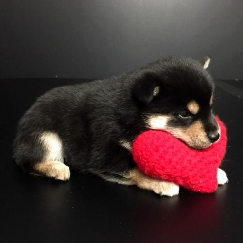 柴犬の子犬(ID:1262511608)の2枚目の写真/更新日:2018-11-16