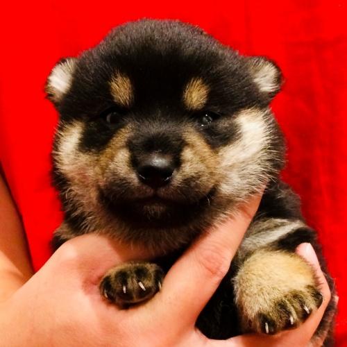柴犬の子犬(ID:1262511609)の1枚目の写真/更新日:2018-11-10