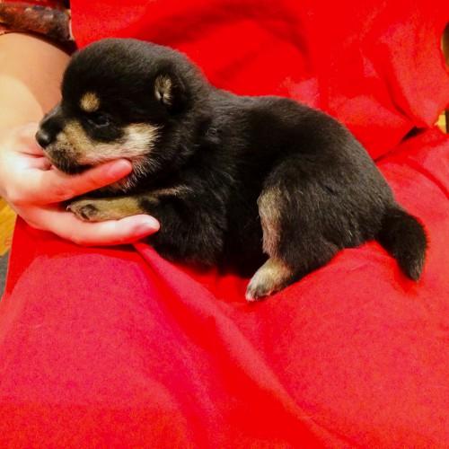 柴犬の子犬(ID:1262511609)の3枚目の写真/更新日:2018-11-10