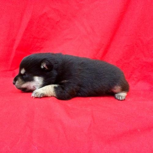 柴犬の子犬(ID:1262511610)の2枚目の写真/更新日:2018-11-10