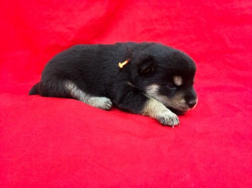 柴犬の子犬(ID:1262511610)の3枚目の写真/更新日:2018-11-10