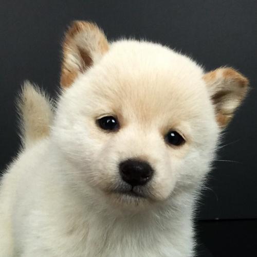 柴犬の子犬(ID:1262511611)の1枚目の写真/更新日:2018-11-26