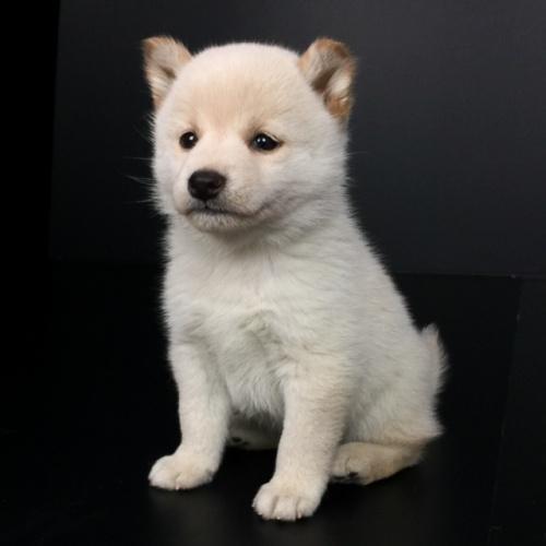 柴犬の子犬(ID:1262511611)の2枚目の写真/更新日:2018-11-26