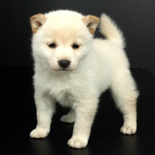 柴犬の子犬(ID:1262511611)の3枚目の写真/更新日:2018-11-26
