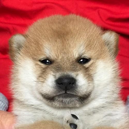 柴犬の子犬(ID:1262511612)の1枚目の写真/更新日:2018-11-12
