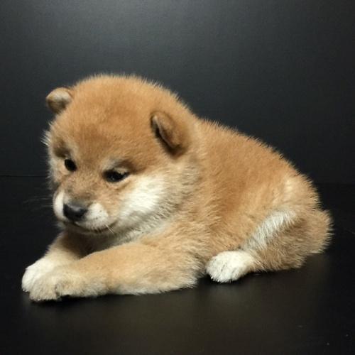 柴犬の子犬(ID:1262511612)の3枚目の写真/更新日:2018-11-12