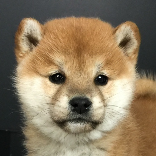 柴犬の子犬(ID:1262511613)の1枚目の写真/更新日:2018-11-27