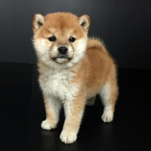 柴犬の子犬(ID:1262511613)の2枚目の写真/更新日:2018-11-27