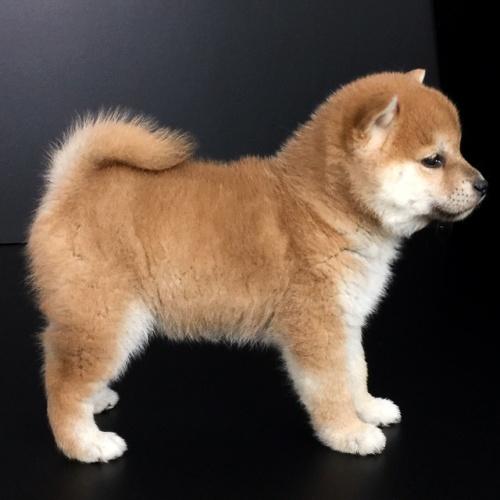柴犬の子犬(ID:1262511613)の3枚目の写真/更新日:2018-11-27