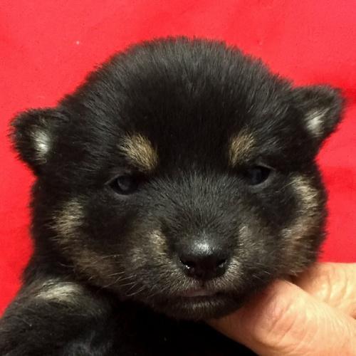 柴犬の子犬(ID:1262511614)の1枚目の写真/更新日:2018-11-13
