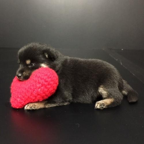 柴犬の子犬(ID:1262511614)の2枚目の写真/更新日:2018-11-13