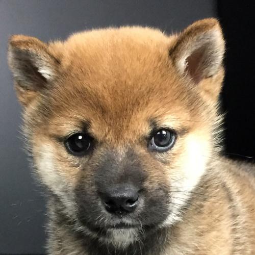 柴犬の子犬(ID:1262511615)の1枚目の写真/更新日:2018-12-06