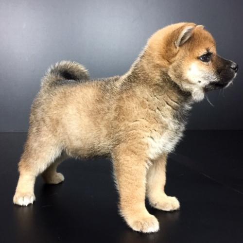 柴犬の子犬(ID:1262511615)の2枚目の写真/更新日:2018-12-06