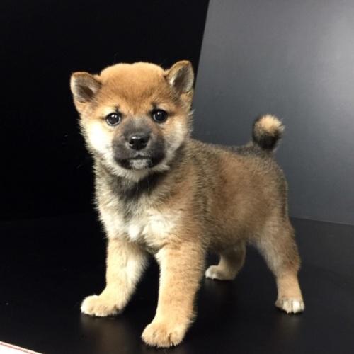 柴犬の子犬(ID:1262511615)の3枚目の写真/更新日:2018-12-06