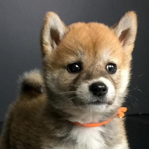柴犬の子犬(ID:1262511616)の1枚目の写真/更新日:2018-11-27