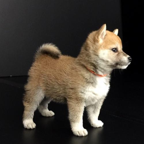 柴犬の子犬(ID:1262511616)の3枚目の写真/更新日:2018-11-27