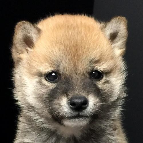 柴犬の子犬(ID:1262511617)の1枚目の写真/更新日:2018-11-22