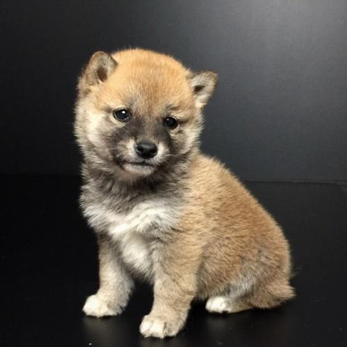柴犬の子犬(ID:1262511617)の2枚目の写真/更新日:2018-11-22