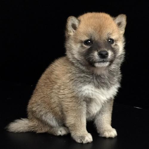 柴犬の子犬(ID:1262511617)の3枚目の写真/更新日:2018-11-22