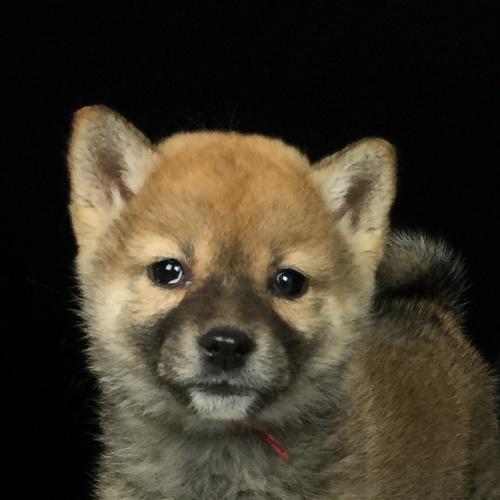柴犬の子犬(ID:1262511618)の1枚目の写真/更新日:2018-12-20