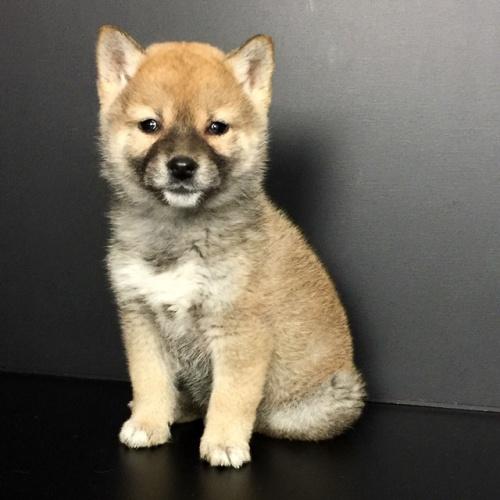 柴犬の子犬(ID:1262511618)の2枚目の写真/更新日:2018-12-20
