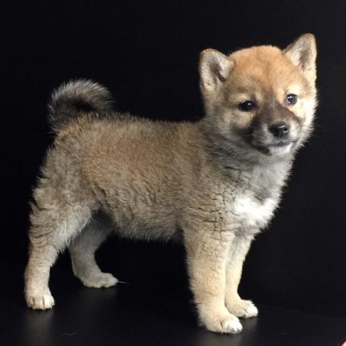 柴犬の子犬(ID:1262511618)の3枚目の写真/更新日:2018-12-20