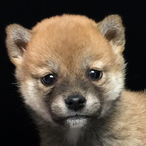 柴犬の子犬(ID:1262511619)の1枚目の写真/更新日:2018-11-22