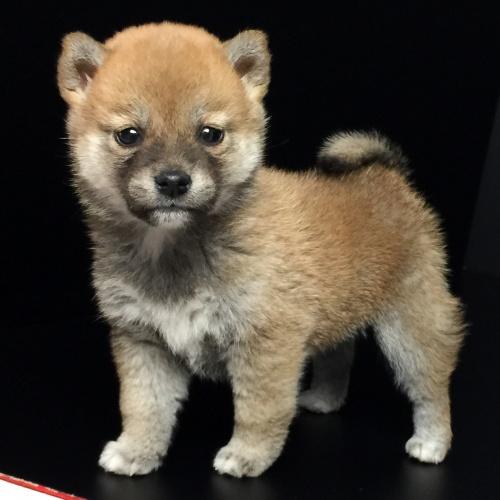 柴犬の子犬(ID:1262511619)の2枚目の写真/更新日:2018-11-22