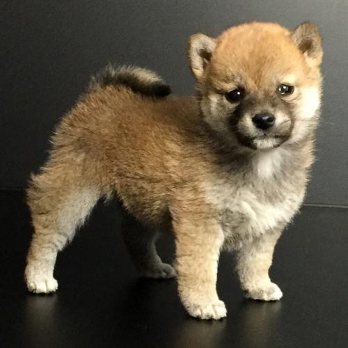 柴犬の子犬(ID:1262511619)の3枚目の写真/更新日:2018-11-22