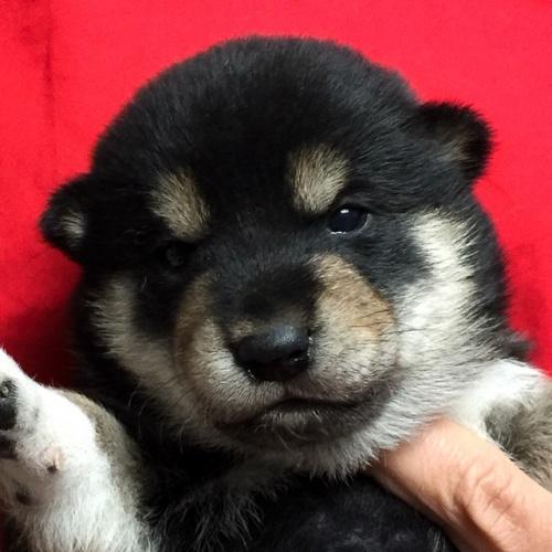 柴犬の子犬(ID:1262511623)の1枚目の写真/更新日:2018-11-19