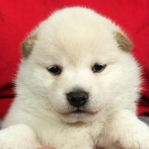 柴犬の子犬(ID:1262511624)の1枚目の写真/更新日:2018-11-28