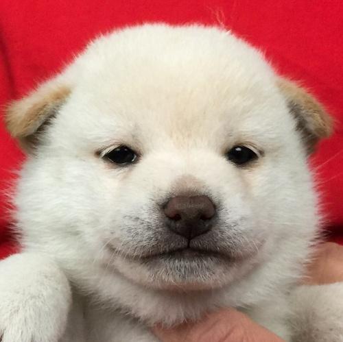 柴犬の子犬(ID:1262511626)の1枚目の写真/更新日:2018-11-28