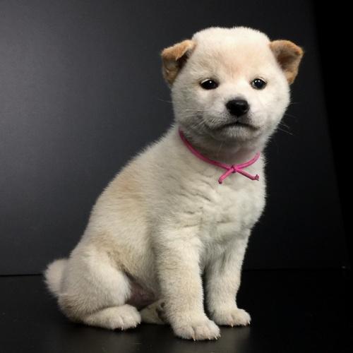 柴犬の子犬(ID:1262511627)の2枚目の写真/更新日:2018-12-06