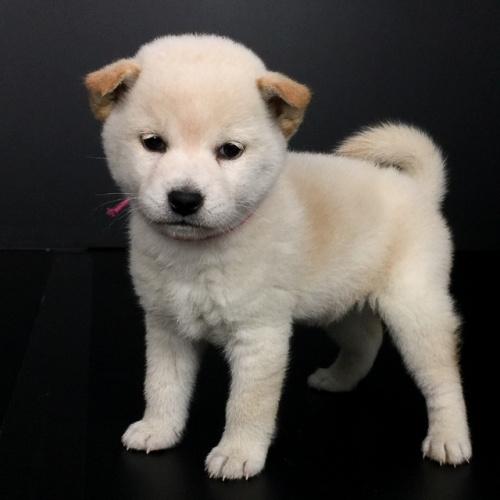 柴犬の子犬(ID:1262511627)の3枚目の写真/更新日:2018-12-06