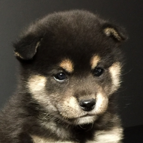 柴犬の子犬(ID:1262511628)の1枚目の写真/更新日:2018-11-29