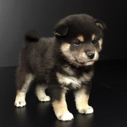 柴犬の子犬(ID:1262511628)の2枚目の写真/更新日:2018-11-29