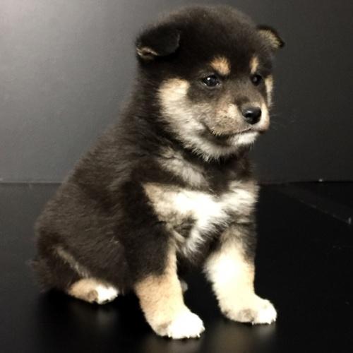 柴犬の子犬(ID:1262511628)の3枚目の写真/更新日:2018-11-29
