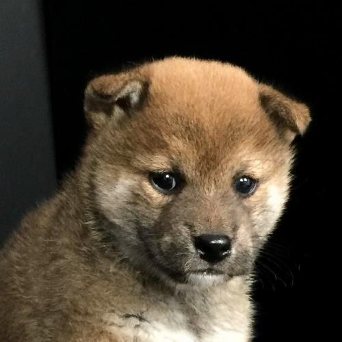 柴犬の子犬(ID:1262511629)の1枚目の写真/更新日:2018-11-29