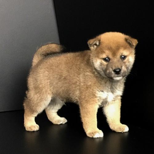 柴犬の子犬(ID:1262511629)の2枚目の写真/更新日:2018-11-29