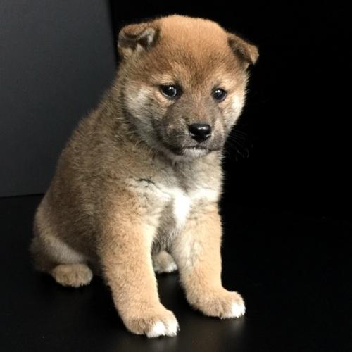 柴犬の子犬(ID:1262511629)の3枚目の写真/更新日:2018-11-29