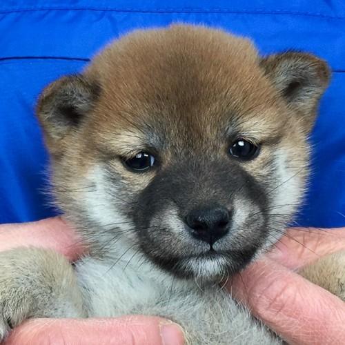 柴犬の子犬(ID:1262511630)の1枚目の写真/更新日:2018-12-11