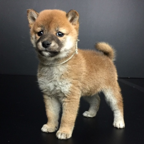 柴犬の子犬(ID:1262511630)の2枚目の写真/更新日:2018-12-11