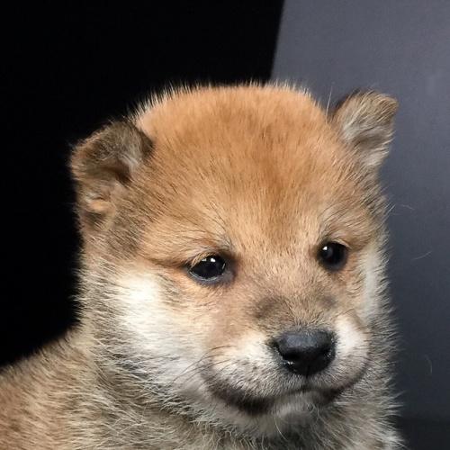 柴犬の子犬(ID:1262511631)の1枚目の写真/更新日:2018-11-30