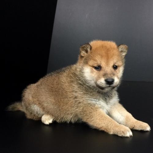 柴犬の子犬(ID:1262511631)の3枚目の写真/更新日:2018-11-30