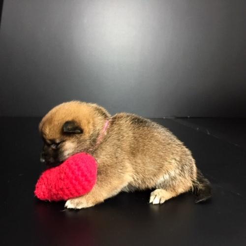 柴犬の子犬(ID:1262511632)の2枚目の写真/更新日:2018-11-24