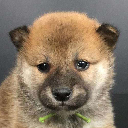 柴犬の子犬(ID:1262511633)の1枚目の写真/更新日:2018-11-30