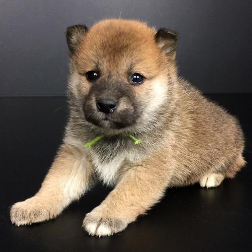 柴犬の子犬(ID:1262511633)の2枚目の写真/更新日:2018-11-30